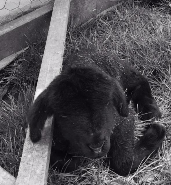 a newborn lamb